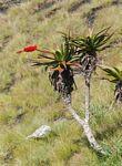 Aloe mawii