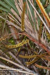 Hyphaene coriacea