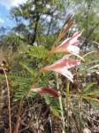 Gladiolus erectiflorus