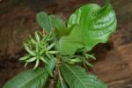 Leptactina platyphylla