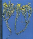 Crotalaria dura subsp. mozambica