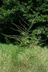 Crotalaria virgulata subsp. forbesii