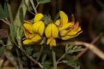 Crotalaria argyrolobioides