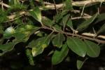 Euclea natalensis subsp. obovata