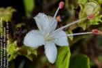 Clerodendrum glabrum