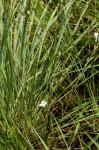 Striga pubiflora
