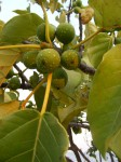 Ficus ovata
