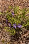 Thunbergia lancifolia