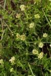 Agathisanthemum bojeri