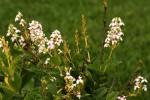 Pseuderanthemum carruthersii
