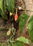 Syngonium podophyllum