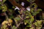 Clinopodium uhligii var. obtusifolium