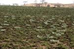 Cyperus nduru