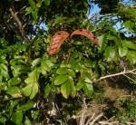 Xylia mendoncae