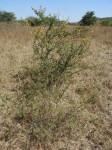 Acacia hockii