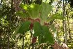 Platycerium elephantotis