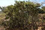 Brachystegia taxifolia