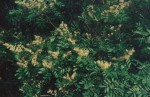 Copaifera baumiana