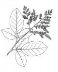 Dialium angolense