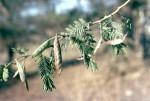 Acacia pilispina