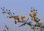 Acacia seyal var. fistula