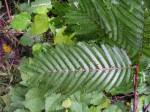 Samanea leptophylla