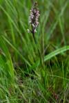 Brachycorythis rhodostachys