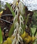 Bulbophyllum expallidum