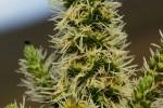 Anthospermum usambarense