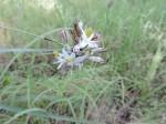 Chlorophytum sphacelatum var. hockii