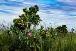 Protea angolensis var. trichanthera