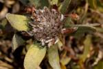 Protea heckmanniana var. heckmanniana