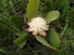 Protea matonchiana