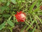 Protea micans subsp. trichophylla