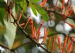 Phragmanthera usuiensis subsp. usuiensis