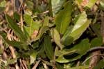 Morella salicifolia subsp. kilimandscharica