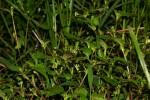 Persicaria nepalensis