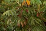 Hagenia abyssinica