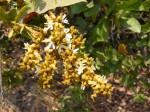 Magnistipula butayei subsp. bangweolensis