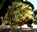 Maranthes floribunda