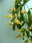 Combretum celastroides subsp. laxiflorum