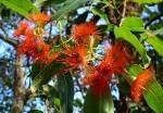 Eucalyptus ficifolia