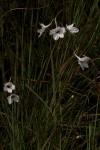 Delphinium leroyi