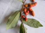Uvaria angolensis