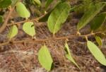 Xylopia tomentosa