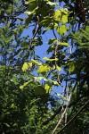 Chasmanthera dependens