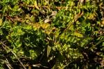 Hypericum scioanum