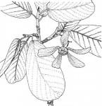 Monotes angolensis