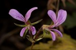 Pelargonium whytei