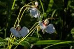 Impatiens tinctoria subsp. latifolia